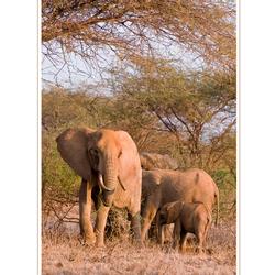 Elephant, Tsavo West NP