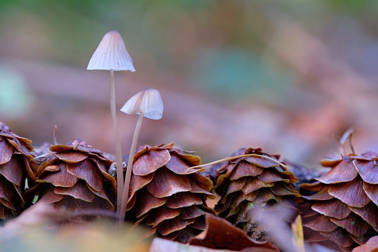 Untitled - mini paddenstoeletjes bij lariks dennenappels