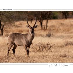 Common Waterbuck, Kenia