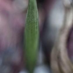 Hyacints Secret