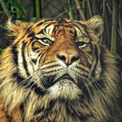 Portet van een Sumatraan