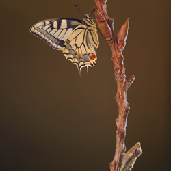 Koninginnenpage, papilio machaon 2