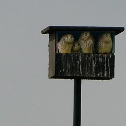 Jonge torenvalken