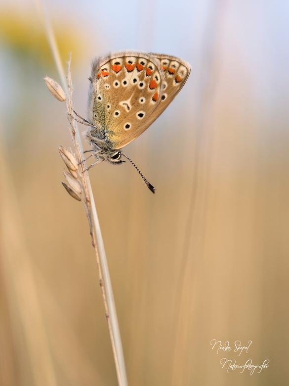 Icarusblauwtje - Ook redelijk scherpe foto&#039;s kun je met gemak maken met de lensbaby velvet 56<br /> Deze foto is gemaakt op f 4.0...zou je nog h