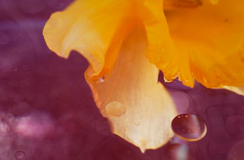 Purple  - Macrofotografie met bloem, water en olie.<br /> Ik ben een studente Photo Design. Als eindwerk in mijn laatste jaar heb ik gekozen voor mij