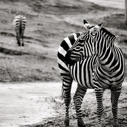 Zebra black&white