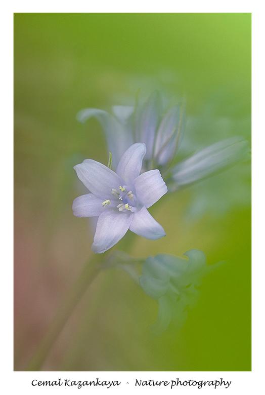 Wilde hyacint - Wilde hyacint..<br />