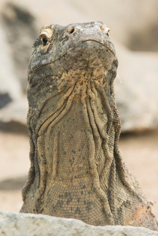 Komodovaraan - In Pairi Daia zitten ook Komodovaranen. Dit zijn hele mooie grote varanen. Een van de varanen was aan de wandel en ik had een compositi