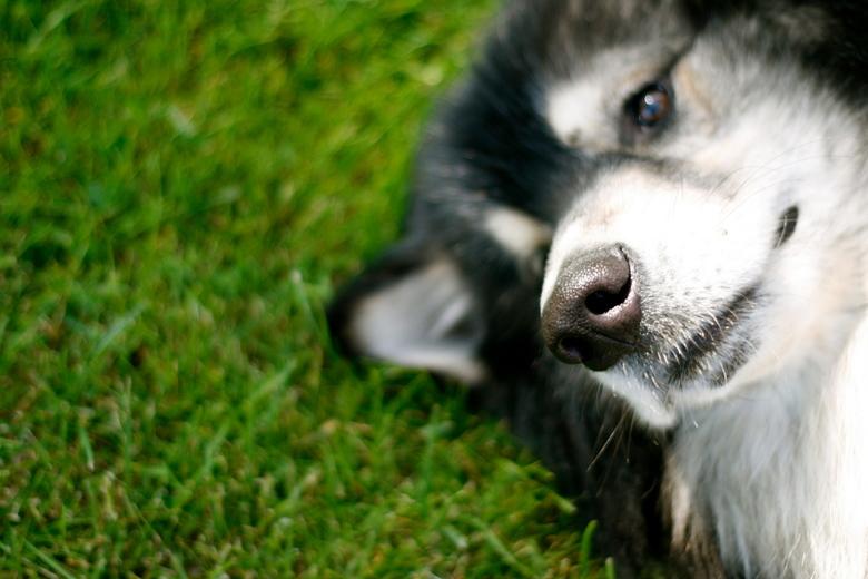 Amerikaanse wolfhond -