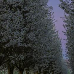 Zonsopkomst tussen de bloesemende appelbomen