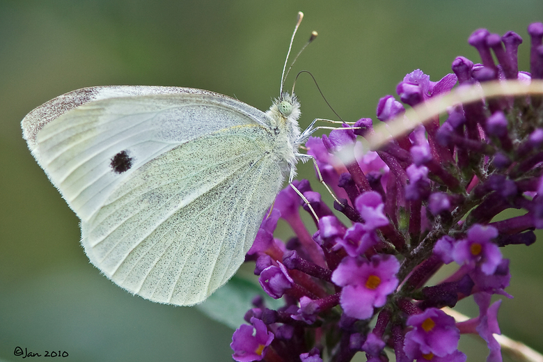 Groot Koolwitje - De laatste zonnestralen en de late bloei van de vlinderstruik trekken toch nog een hoop vlinders aan.<br /> Gr Jan