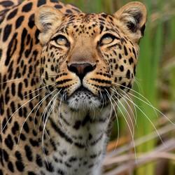 Luipaard in Plettenburgbaai Zuid-Afrika