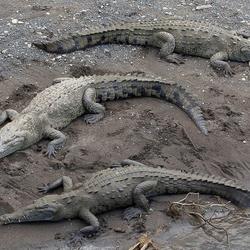 Spitssnuitkrokodil (Crocodylus acutus)