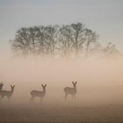 Reeen in de mist