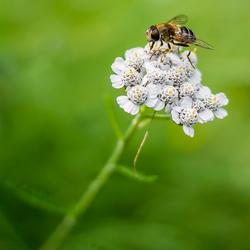 Zomergevoel..........zweefvlieg op duizendblad (Achillea millefolium)