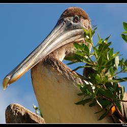 Tweede pelikaan