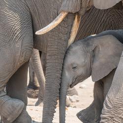 Moeder Liefde (Etosha, Namibië)