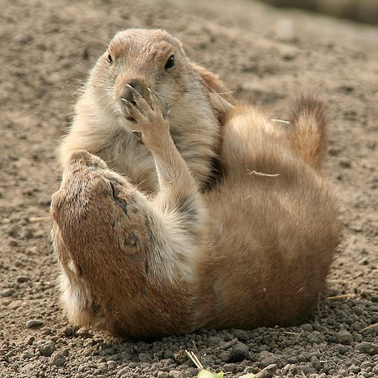 Prairiehondjes - Bezoek aan de dierentuin Blijdorp