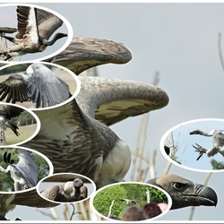 Collage Roofvogels