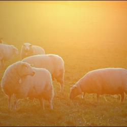 golden sheep ..