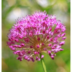 Allium (sierui)
