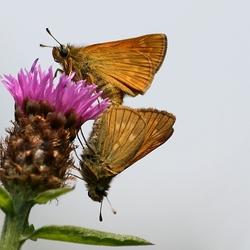 Onbekende vlinder!