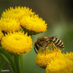 Bij op bloem01