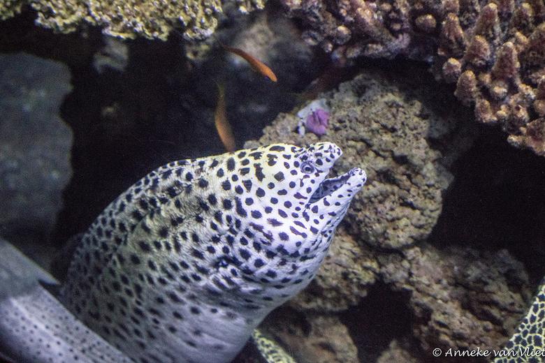 Murene / Moeraal (Muraenidae) - Het blijft lastig om de murene achter glas goed scherp vast te leggen. Helaas hier in de Middellandse Zee nog niet gez