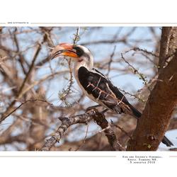 Von der Decken Hornbill, Kenia