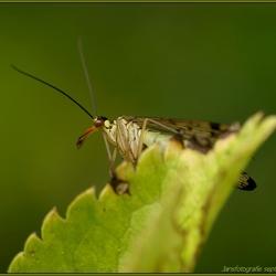 schorpioenvlieg(Panorpidae)