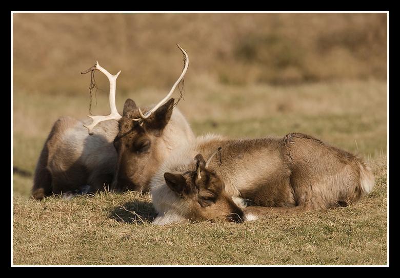 Siesta houden - een kleine siesta houden dat doen deze twee rendieren ( hij & zij ) een opname die genomen is in de ( Zodiac ) Zoo Park te Overloo