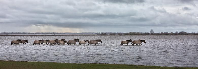 Konikpaarden op weg naar gras
