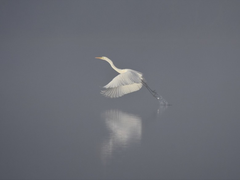 Zilverreiger ....misty morning -