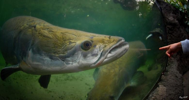 Arapaima - Vanmiddag in Blijdorp dierentuin. Nikon D7500, Nikor 10,5mm fisheye. De Arapaima was 2,5m lang. De hand is van mijn zoontje......