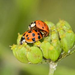 Lieveheersbeestje-Ladybug (Coccinellidae).jpg