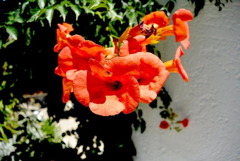 Rode bloem -