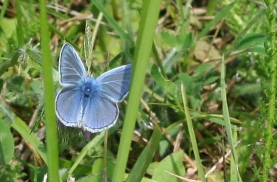Icarus blauwtje - Gemaakt in het park bij de Uithof in Den Haag