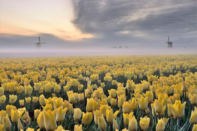 Gele tulpen op een mistige ochtend - Tulpenveld met grondmist Schermerhorn<br /> www.johnleeninag,nl