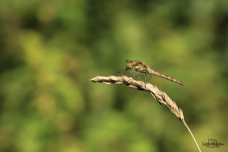 Heidelibel met prooi  - Heidelibel met prooi.