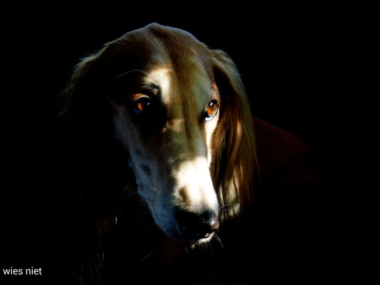 eye catcher - Saluki astrix