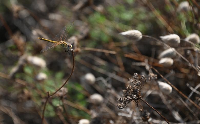 In de wind - De zon gaf een mooie gloed op de aders van de vleugels, door richting van het pluisgras lijkt het alsof dat er veel wind was.