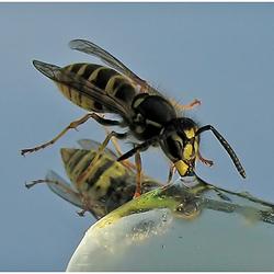 Wesp eet honing 2