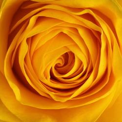 A rose for Mathilda