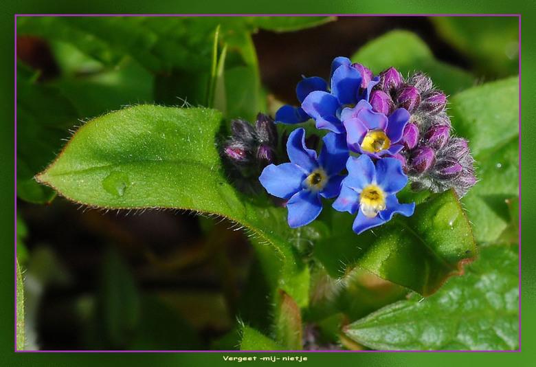 Vergeet-mij-nietje - niet inheems bloempje , komt in het wild en gekweekt voor . bloeit normaal junit/m september dus ze zijn ergvroeg dit jaar .de bl
