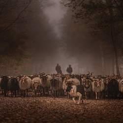 Schaapskudde in de mist