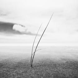 Eenzaam helmgras