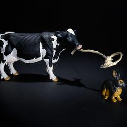 Hoe een koe een haas vangt