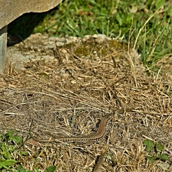 Foto van een hagedis op weg van A naar B.