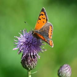 Vlinder op distel