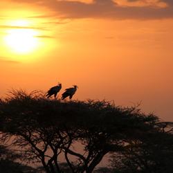Secretarisvogels in Kenia